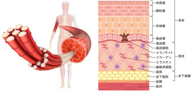 皮膚、皮下脂肪、筋膜、筋の図